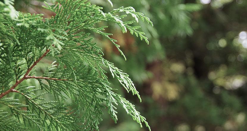 東濃ひのきは木目が細かく丈夫な木材